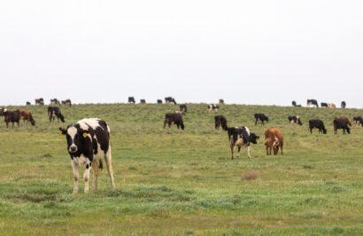 biodynamic dairy farm . cows in green pasture Adelaide Hills
