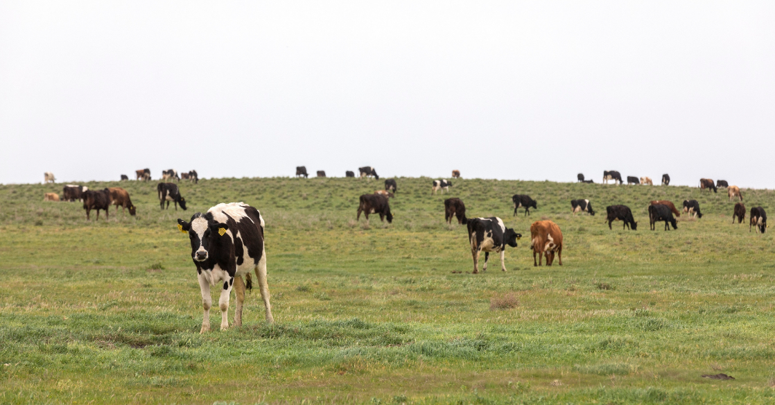 biodynamic dairy farm . cows in green pasture Adelaide Hills